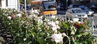 В Калининграде высадили еще один розарий